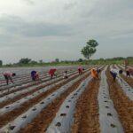 See the unique tomato farming method
