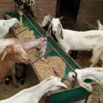 Bad effect on goat traders in Corona period