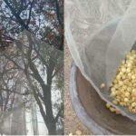 Vinay Kumar of Banda created a new way for mahua picking