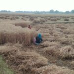 Farmers worried about standing crop in the fields